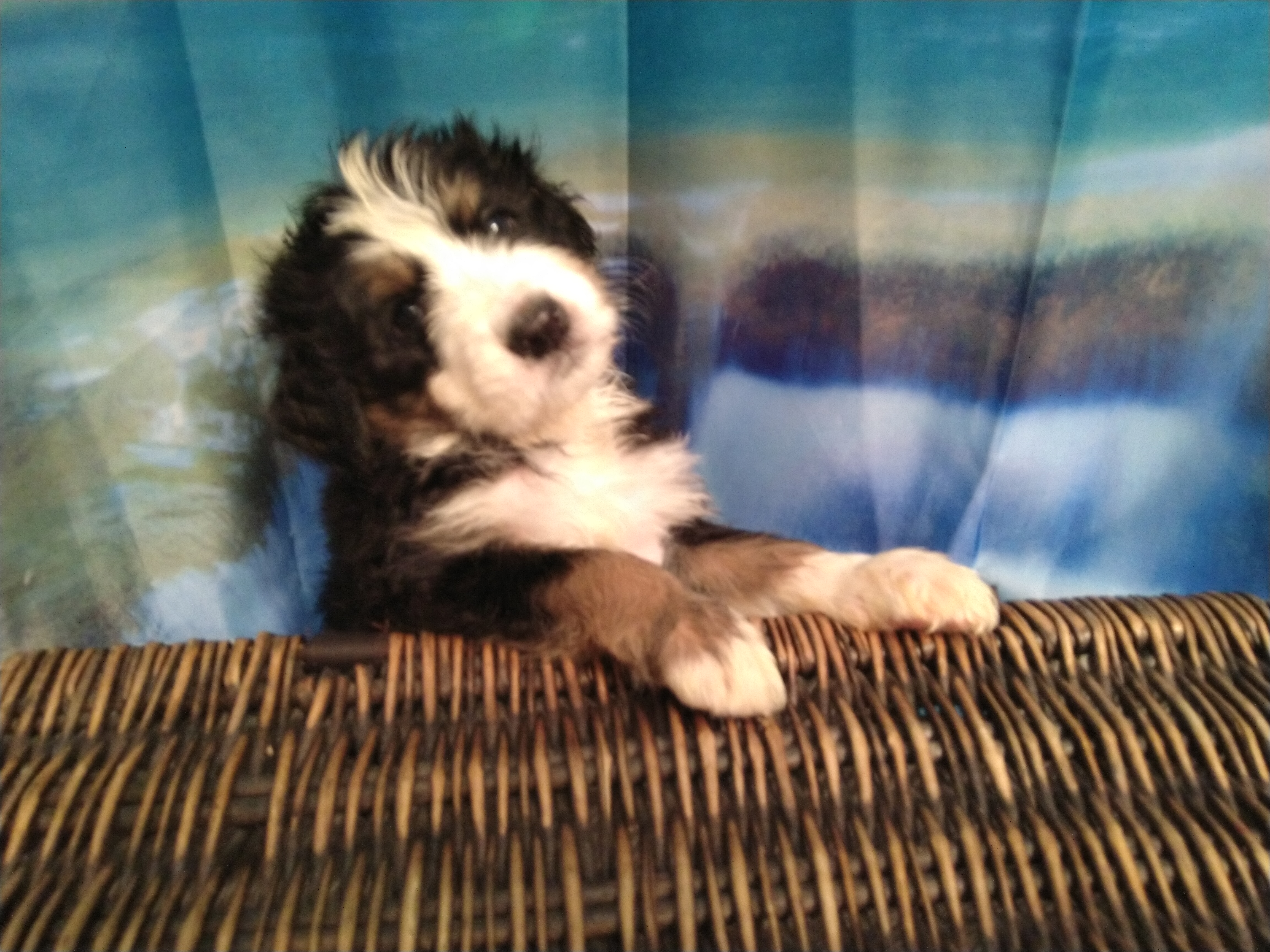 Available Bernedoodle Puppies Az Oasis Bernedoodles