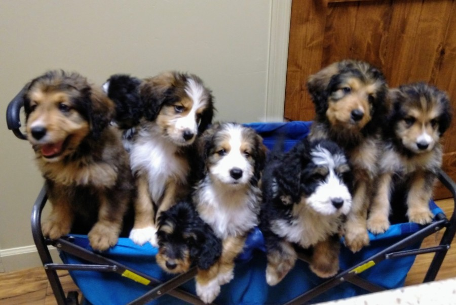 Gorgeous Bernedoodle Puppies In Az High Quality Colorful